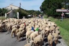 moutons-louis2